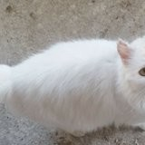 Blanquette, Chat à adopter