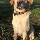 Sawyer, adorable labrador d'un et demi, Chien labrador retriever à adopter