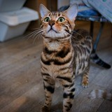 Legende, Chaton bengal à adopter