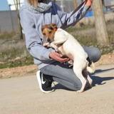 Flipper, Chiot jack russell terrier, pudelpointer à adopter