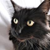 Pao, Chat européen à adopter