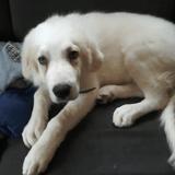 Belle, Chiot berger des pyrénées à adopter