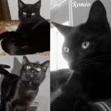 Roméo, Chat à adopter