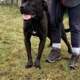 Engie, Chien boxer, cane corso à adopter