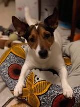 Moka, Chien jack russell terrier à adopter