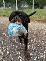 Onyx, Chien rottweiler à adopter