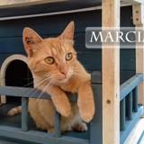 Marcia très jolie rousse, Chat à adopter