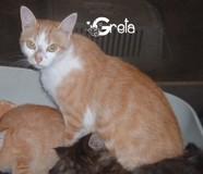 Greta, Chat européen à adopter