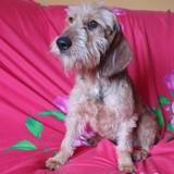 Macu, Chien teckel, yorkshire terrier à adopter