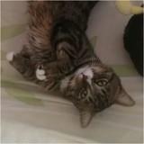 Roméo, Chat européen à adopter