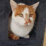 Eliott, Chat européen à adopter