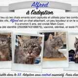 Alfred, Chat maine coon à adopter