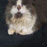 Schokobon, Chat à adopter