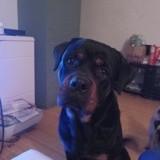 Max, Chien rottweiler à adopter