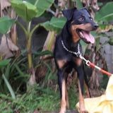 Pekan, Chien à adopter