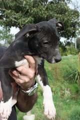 Pepper, Chiot à adopter