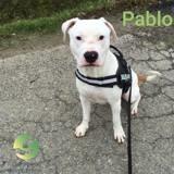 Pablo staff, Chien american staffordshire terrier à adopter