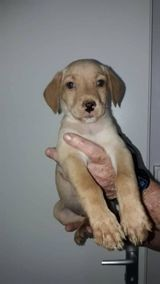 Orphea, Chiot à adopter