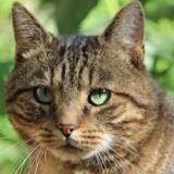 Ryoji matou tigré de 2 ans 1/2, Chat à adopter