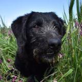 Emy, Chiot beauceron à adopter