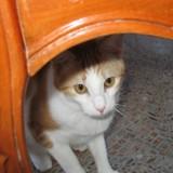 Joey, Chaton européen à adopter