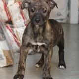 Palmer, Chiot berger allemand, bulldog à adopter