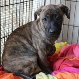 Patou, Chiot berger allemand, bulldog à adopter