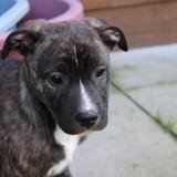 Québec, Chiot berger allemand, bulldog à adopter