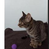 Violette, Chaton européen à adopter