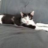 Koda, Chat européen à adopter