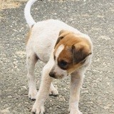 Chipette, Chiot à adopter