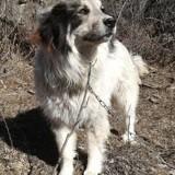 Emmy, Chien chien de montagne des pyrénées à adopter