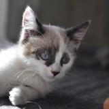 Penny, Chaton européen, siamois à adopter