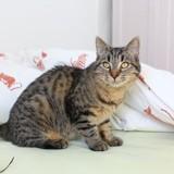 Evy chatonne tigrée de 8 mois, Chaton à adopter