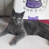 Phidias, Chat chartreux à adopter
