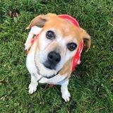 Violette, adorable petite beagle, Chien beagle à adopter