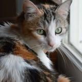 Lila jolie tricolore de 6 ans 1/2, Chat à adopter