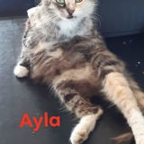Ayla, Chat à adopter