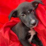 Boumba, Chiot à adopter