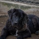 Daga, Chiot mâtin espagnol à adopter