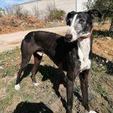 Gabi, Chien lévrier espagnol à adopter
