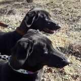 Kira et nala, Chien labrador retriever, lévrier espagnol à adopter