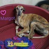 Margot, Chien lévrier espagnol à adopter