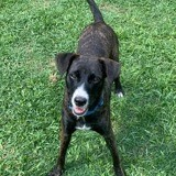 Choco, toute jeune chienne croisée créole, Chien à adopter