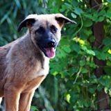 Koda, chiot femelle croisée créole, Chiot à adopter