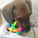 Léo, chiot mâle croisé créole, Chiot à adopter