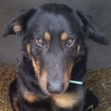 Rambo, Chien beauceron à adopter