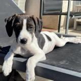Rosie, Chiot braque allemand à poil court, setter anglais à adopter