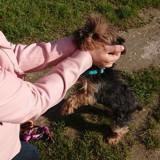 Walt, Chien yorkshire terrier à adopter
