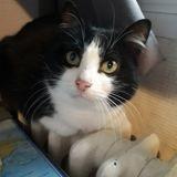 Limos, Chat européen à adopter